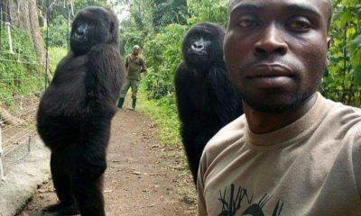 image Gorilles selfie congo insolite