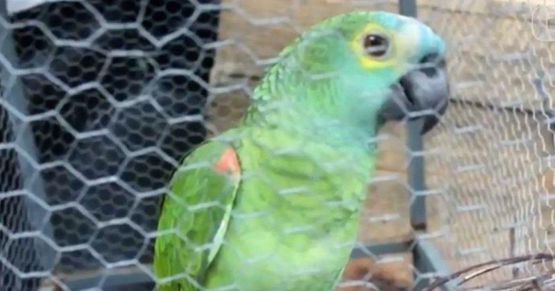 image Perroquet guetteur Brésil